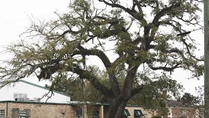 SICK LIVE OAK: This live oak at The Cornerstone was one of the 123 live oaks treated by Fulgham's Inc. using funds from the grant from the Lower Pearl River Valley Foundation. This tree and a live oak at PJ's were the two in worst shape when the city hired Fulgham's to do the treatments to revive them. Photo by Will Sullivan