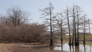 Photo courtesy of www.SoutheasternFlora.com BALD CYPRESS—The cone-shaped, sculptural forms of bald cypress trees in the winter landscape make them easy to identify