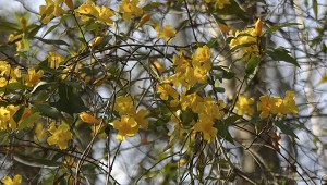 Strands of gold: Have you been noticing strands of gold blossoms climbing up roadside trees and rambling over hedgerows?  This is native Carolina jessamine vine. Photo by Pat Drackett