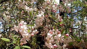 NATURE'S BEAUTY: Southern crabapple's pale pink blossoms at the Arboretum's exit gate are a popular subject for photographers. Photo by Patricia Drackett