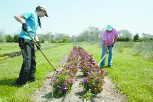 From left Christine Ladner and Debbie Murchisor tend to one of the trial flower beds at the South Mississippi Branch Experiment Station in Poplarville.
