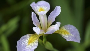 Something borrowed, something blue:   Southern blue flag iris (Iris virginica) are blooming in the Arboretum's Aquatic Exhibit. Crosby Arboretum Archive Photo